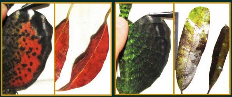 Bölgelere göre kertenkelelerin kanat rengiyle o bölgedeki ağaç yapraklarının rengi birbirleriyle uyum içindedir. En solda kanatlarının üzeri kırmızı olan kertenkele ve yanında ağaçlardan düşen kırmızı renkli yapraklar görülüyor. Sağda ise yeşil kanatlı kertenkele kanadı ve yaşadığı yerdeki yeşil ağaç yaprakları görülüyor.